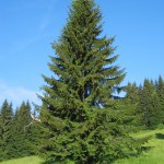 Molid - Picea abies