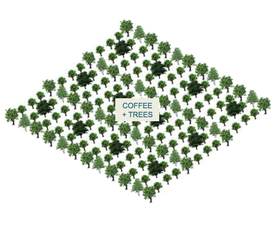 Intercropping and Perimeter combination - Plantation of trees inside coffee fields (intercropping) and in the perimeter of coffee fields