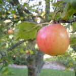 Apple - Malus pumila