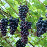 Grape - Vitis