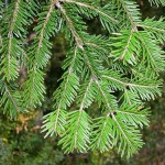 White fir - Abies alba