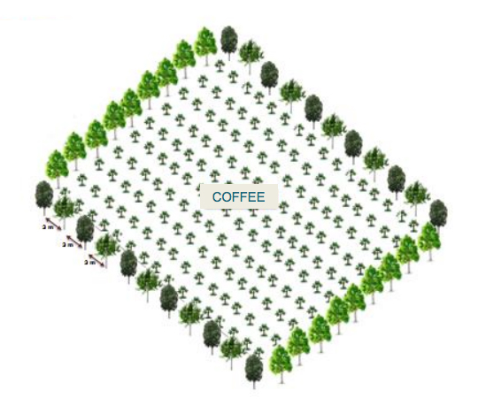 Perimeter or Lines - Plantation of trees in lines- in the perimeter of coffee fields , along the rivers, roads, etc